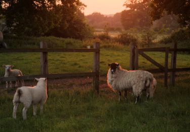 sheep_in_the_evening_light_-_geograph-org-uk_-_814948