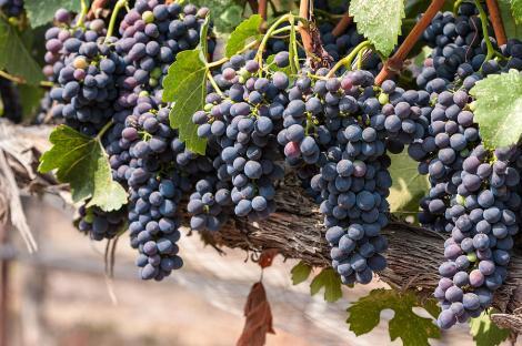hanging-wine-grapes-dina-calvarese