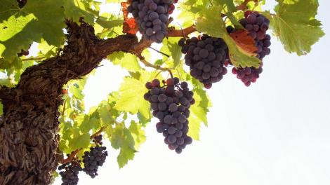 grape-tree-grapes-rod-fruit-kingdom-386152