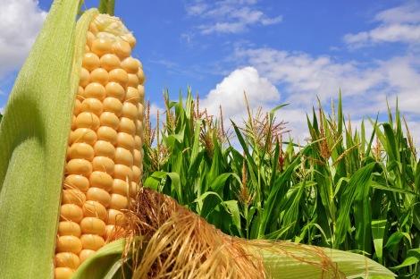 cosecha-de-maiz-amarillo