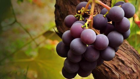 grape-vine-1366x768-1